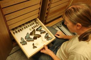 Vanades kogudes leiduvad troopilised Morpho liblikad on vihmametsade ühed uhkeimad.