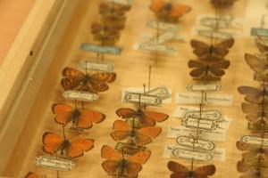 Vanade etikettidega kümneid aastaid vanad liblikakogud on väärtus omaette.