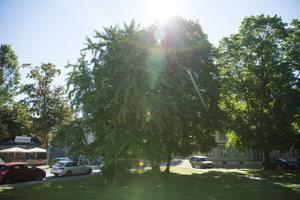hõlmikpuu