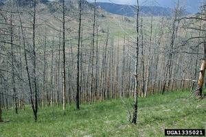 Siberi kedrik on kõige olulisem okkakahjur Venemaal. Massilise puhangu kestel süüakse puud raagu kahel kuni kolmel järjestikusel aastal ja harilikult puud ei talu sellist pikka kahjustust. Siberi kedrik sööb aastas sadu tuhandeid hektareid männikuid palja
