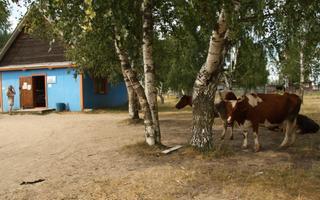 Lehmad külapoe juures. Järvede külastu, Leningradi oblast, 2010.