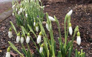 Esimesed lumikellukesed Tallinna botaanikaaias on tärganud (Foto: Tallinna botaanikaaed)