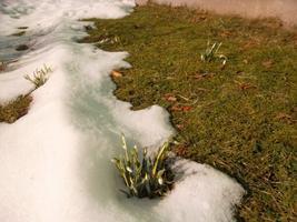 Lume alt võib juba leida lumikellukesi