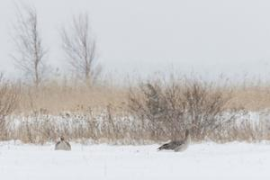 Haned Eesti talves