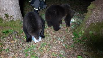 The two brown bear cubs being returned from Saaremaa to the Estonian mainland by Rescue Board personnel.