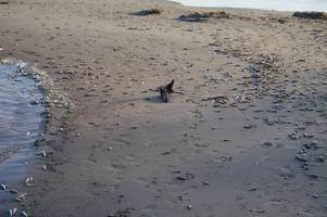 Surnud kalad Peipsi rannas