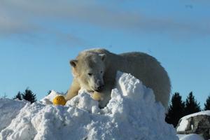 Tallinna Loomaaia jääkarud