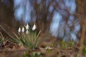 Kevadised õitsejad, lumikellukesed