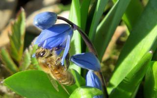 Kevadised õitsejad, siniliilia.