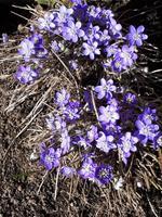 Kevadised õitsejad, sinililled