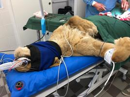 Операция львицы в Таллиннском зоопарке в апреле 2019 года.