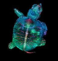 1. koht. Fluorestseeruvate värvidega tähistatud kilpkonna embrüo, (5X suurendus).