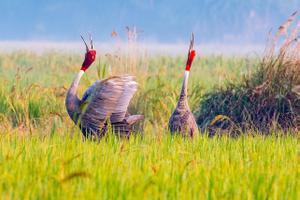 Saaruskurg - üks suuremaid lennuvõimelisi linde, (India).