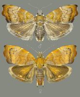 1799. aastal kogutud liiki Choreutis nemorana kuuluvad öölased, (Ukraina).