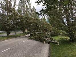 Murdunud puu Pärnus