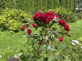 Põltsamaa roosiaed