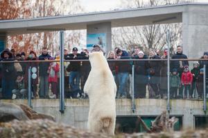 Jääkaru Aron vaatab enne Eestist lahkumist rahva imestunud näod üle.