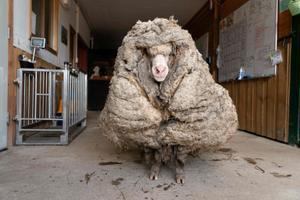 С животного состигли 35 кг шерсти.