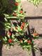 Kevadised õitsejad, varjulisel lillepeenral näeb esimesi varajasi tulpe