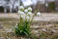 Kevadised õitsejad, märtsikellukesed