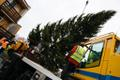 Главная рождественская ель Таллинна выросла в Хааберсти.