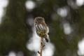 Estonian wildlife, here, a Pygmy, Owl, prepares for winter.