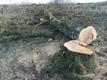 Langetatud tammik Rakvere lähedal
