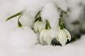 Lumi veebruaris, lumikellukesed Sakus