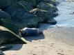 Seal pup spotted on Inglirand Beach in Tallinn.