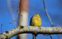 Spring yellowhammer on a tree in Estonia.