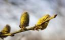 Spring buds  on a willow tree in Estonia (picture is illustrative).