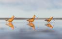 Vöötsaba-vigle