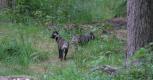 Рядом с хижиной также бродили енотовидные собаки.