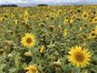 Sunflowers blooming in Tapa.
