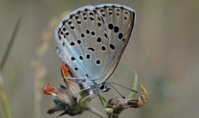 Nõmme-tähniksinitiib on loopealsetele omane haruldane päevaliblikaliik, mis kuulub kolmandasse kaitsekategooriasse.