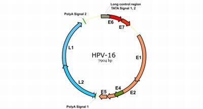 HPV16 on üks ohtlikumaid viiruse alatüüpe.