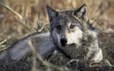 Wolf. Photo is illustrative.