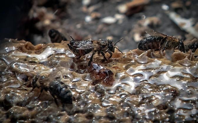 Viimastel aastatel on hukkunud kolmandik Euroopa mesilasperedest.