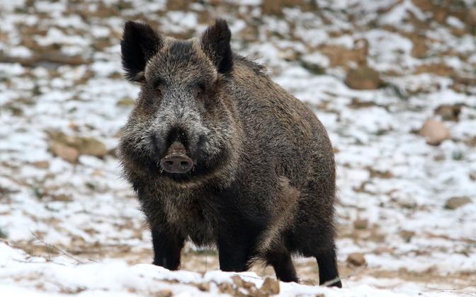 Wild boar (image is illustrative).