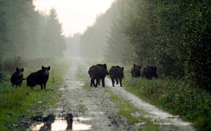 Wild boar in Tartu County (image is illustrative).