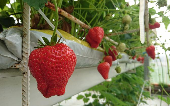 Strawberries need to be harvested soon.