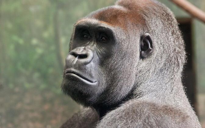 Isane gorilla.