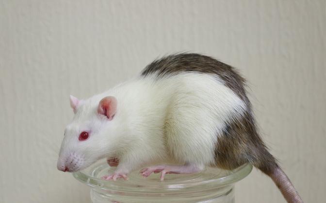 Rott, kelle sisemuses kasvas hiire pankreas.