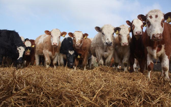 Suurem osa maailmas toodetavatest antibiootikumidest antakse kariloomadele.