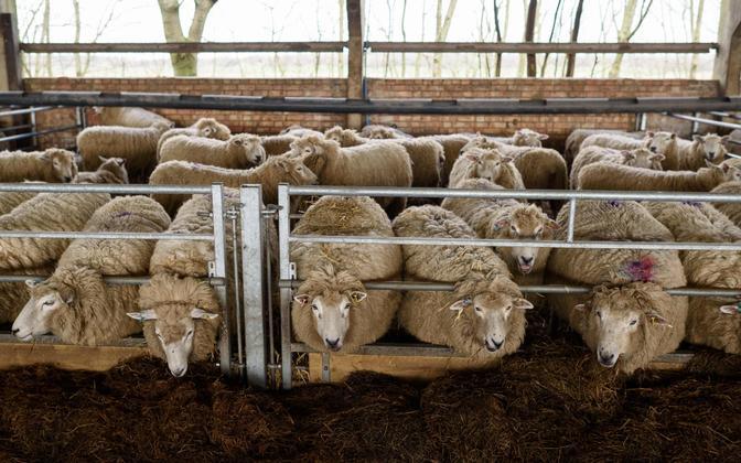 Lambad Kagu-Inglismaal Norfolkis asuvas farmis.