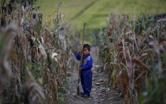Põhja-Korea laps 2011. aastal maisipõllul.