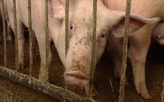 Even one case of ASF spells the slaughter of an entire pig stock (picture is illustrative).