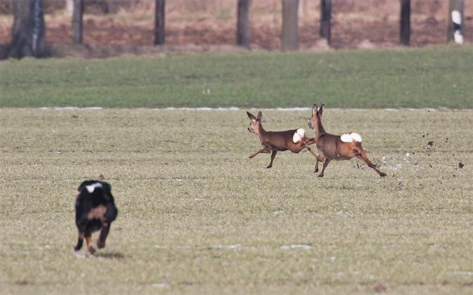 Koerad võivad oluliselt häirida ka endast suuremaid imetajaid.