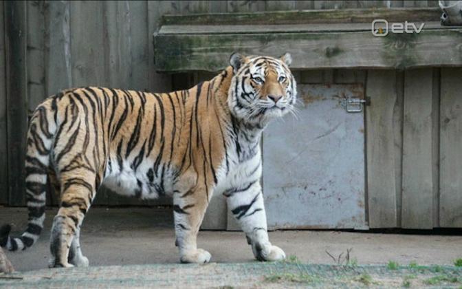 Tallinn Zoo's Siberian tiger Pootsman.