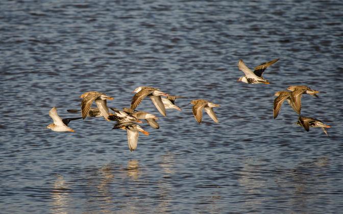 Перелетные птицы возвращаются в Эстонию. Иллюстративная фотография.